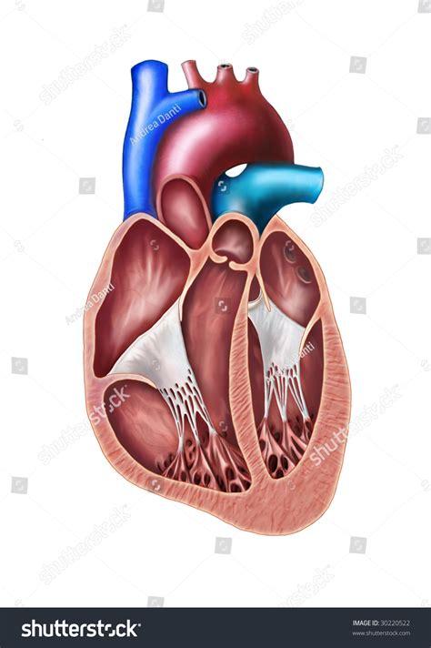 human heart cross section human heart cross section original digital illustration