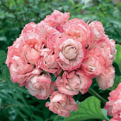 pelargonium tuin geranium appleblossom rosebud pelargonium zonal