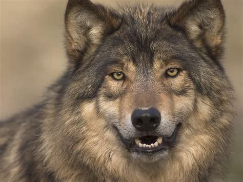 imagenes de lobos taringa fondos de lobos taringa
