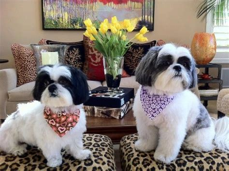 expectancy for a shih tzu what to look for in a shih tzu breeder shih tzu city
