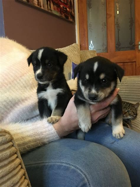 Small Dogs Free To Home West Midlands Huskador Puppies Dudley West Midlands Pets4homes