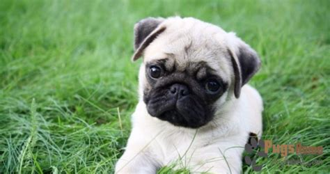 minature pugs for sale miniature pug puppies for sale
