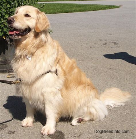 medium sized golden retriever this is all what you want to about golden retrievers