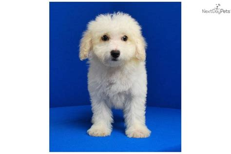 white bolognese puppies sale designer breed with 5 year warranty bolognese puppy for sale near mcallen edinburg