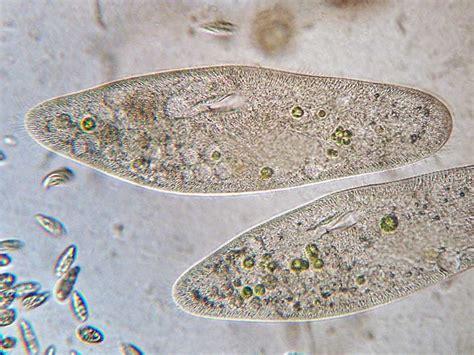 Home Aquarium by Kakerlakenparade Pantoffeltierchen Paramecium