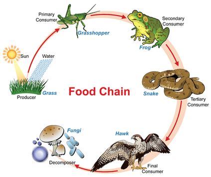 what does a food web diagram illustrate decomposers thinglink
