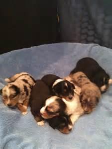 4 week old australian shepherd puppy miniature australian shepherds alangus mini aussies a