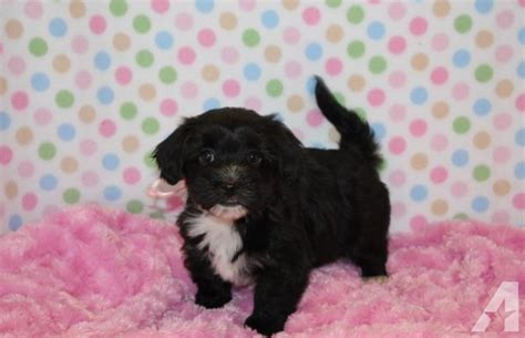 akc havanese puppies for sale akc havanese puppies for sale in delta colorado classified americanlisted