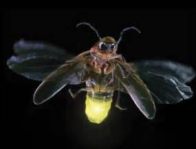 Lightning Bug Pictures Firefly Lightning Bug 171 World News Update