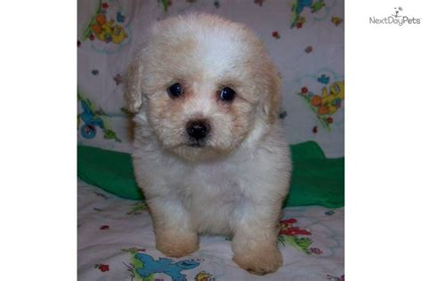 poovanese puppies for sale poovanese related keywords poovanese keywords keywordsking