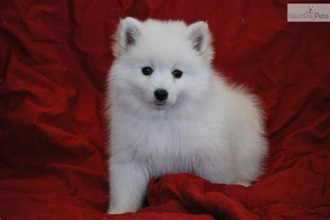 american eskimo puppy for sale adorable american eskimo puppies american eskimo for sale breeds picture
