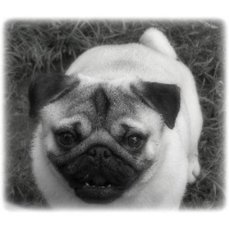 pug breeders in bc caillet pugs pug breeder in chilliwack columbia listing id 14618