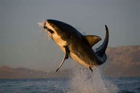 dive with sharks in south africa fly fighter jets more flying great white sharks seal island south africa