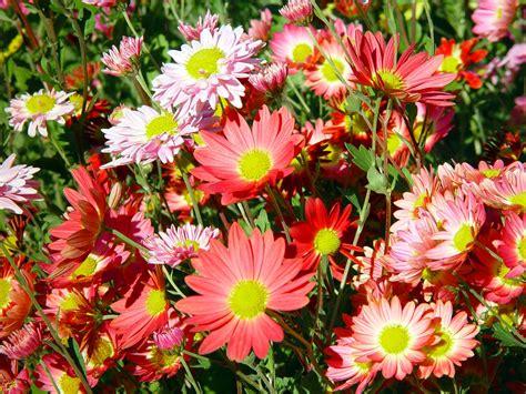 aster fiori aster fiore coltivazione e trapianto fai da te in giardino