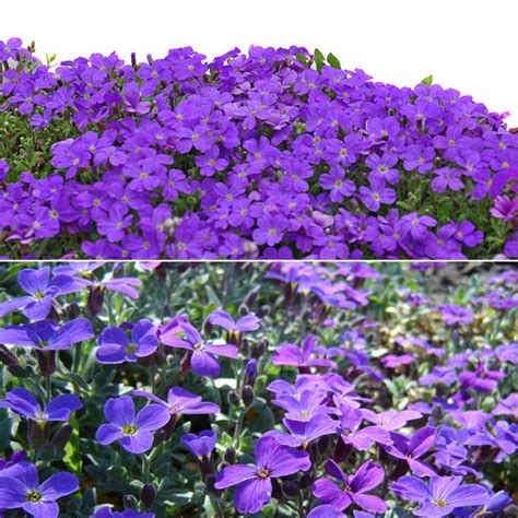100pcs purple flower aubrieta hybrida seeds garden perennial ground cover plant at banggood sold out