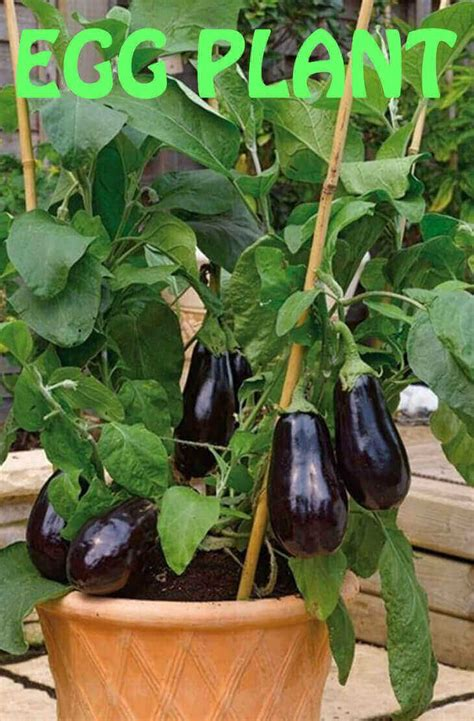 long  purple eggplant grow   pot fall