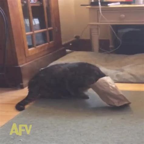 america s funniest home cats america s funniest home s vine quot the cat s in
