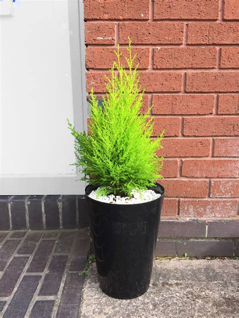 large evergreen office house plant indoor tree  gloss