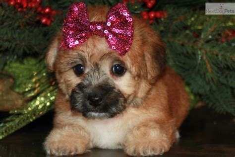 teacup yorkies for sale in iowa yorkie poo for sale iowa breeds picture