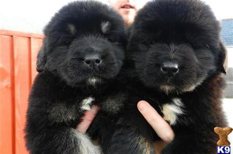 newfypoo puppies newfypoo puppies 36280