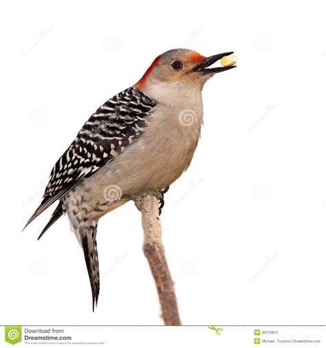 red bellied woodpecker eats a kernel of corn stock