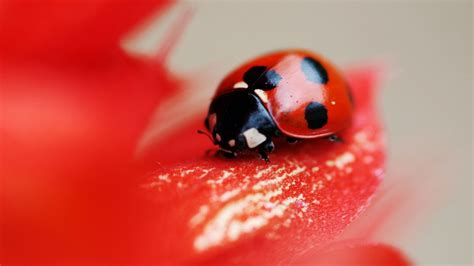 lovely hd ladybug wallpapers