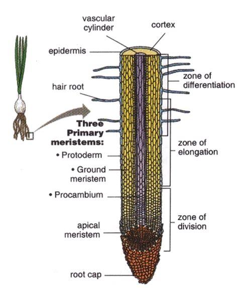 diagram of root tip diagram of an root tip longitudinal section diagram