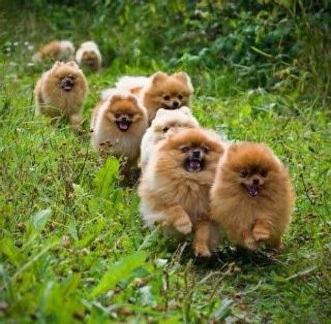 where do pomeranian dogs come from 618 best images about precious pomms on teacup pomeranian puppy