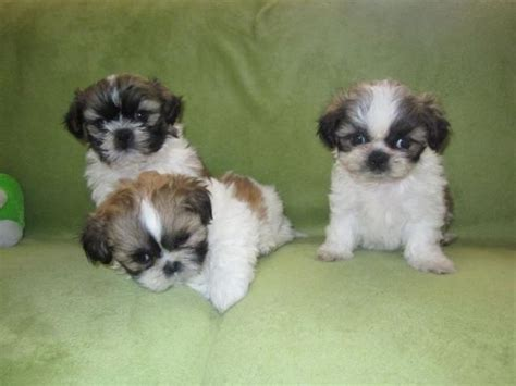 shih tzu breeders southern california 1000 images about pupies on