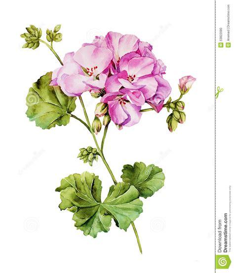 botanica fiori botanical watercolor painting with geranium flower stock
