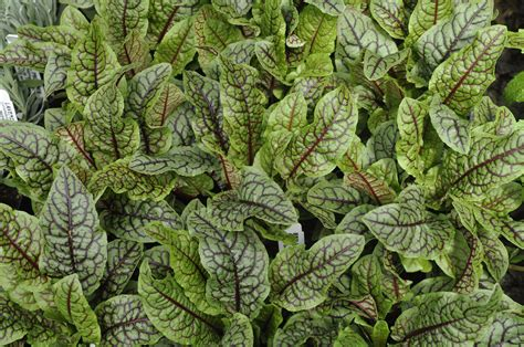 where to buy herb plants red veined sorrel edible landscaping