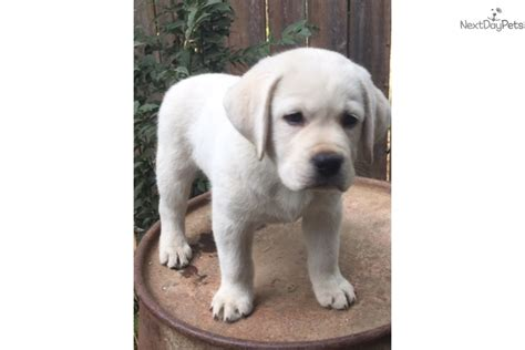 golden retriever puppies for sale in sacramento ca litter of 10 labrador retriever puppies more photos and on our breeds picture