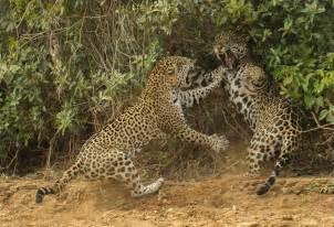 Jaguars Jaguars Jaguars Of Brazil S Pantanal Wildlife Photography Tours
