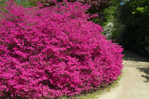 shrubs with pink flowers pink flowering bush free stock photo domain pictures