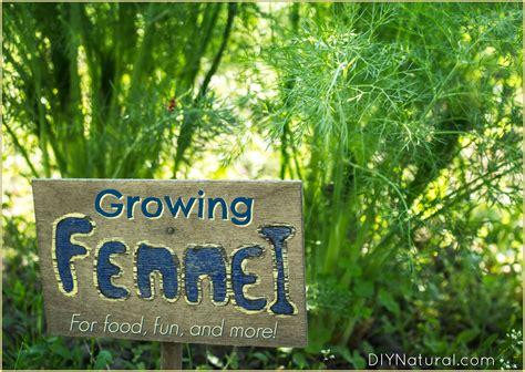 Biji Fennel Adas Easy Grow growing fennel learn to grow fennel for food health and pleasure