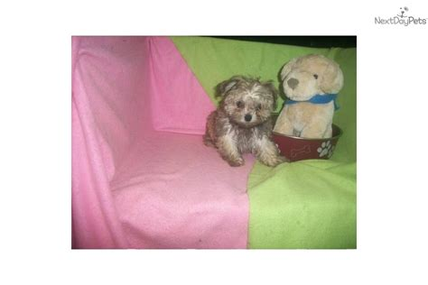 maltipoo puppies for sale in nj teacup maltipoo puppies for sale in nj breeds picture