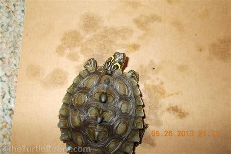Northern Black Knobbed Map Turtle by Species Galleries Theturtleroomtheturtleroom