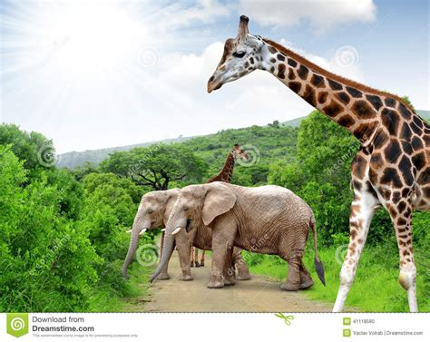 imágenes de jirafas y elefantes girafa e elefantes foto de stock imagem 41118580