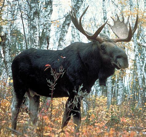 Ee  Moose Ee