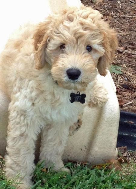 how much is a pug puppy in australia puppy world labradoodle puppy pictures