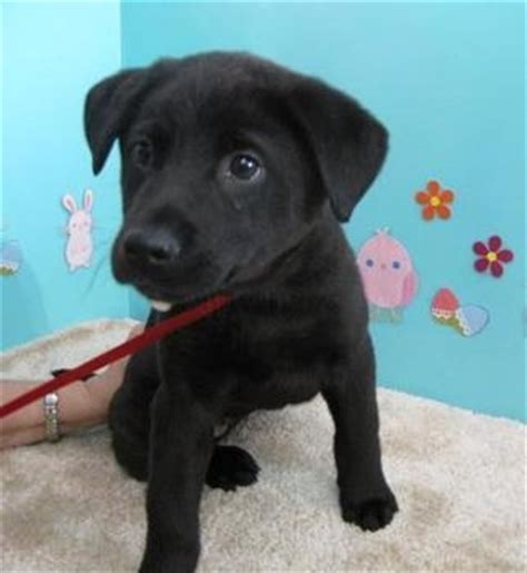 husky lab mix puppies lab puppies oregon and year on