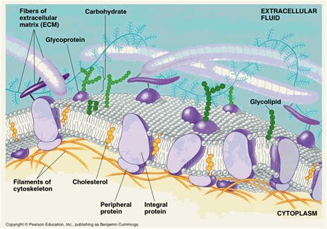 carbohydrates on cell membranes help cells year 11 bio key points cell membranes