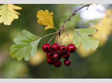 photo: red hawthorn berries and hawthorn leaves MG 4535 ... I M Walking