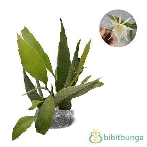 Jual Bibit Bunga Wijaya Kusuma tanaman wijaya kusuma putih jual tanaman hias