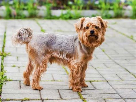 how much should a yorkie weigh terrier coat features and varieties pets4homes