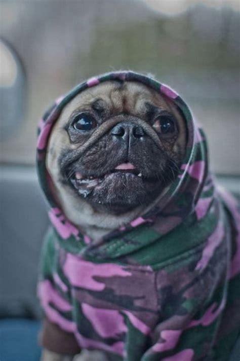 cool pug thugs barnorama