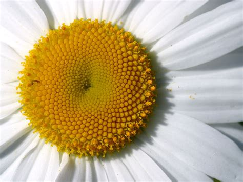facts about daisy flowers canada floral delivery blog fun facts about daisies