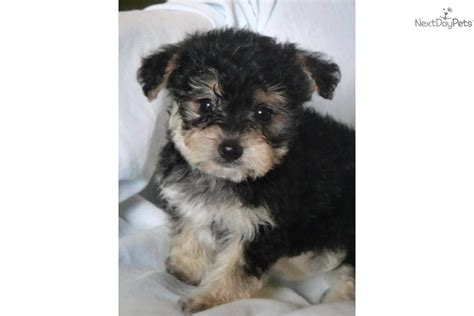 teacup yorkie shedding teacup non shedding dogs breeds picture