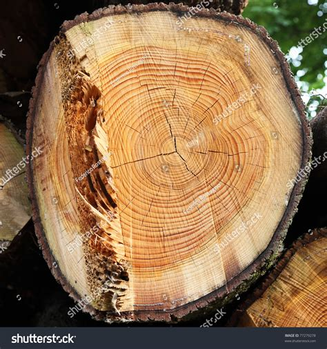 Cutting A Tree In Sections by Cross Section Of Tree Trunk Showing Growth Rings Stock Photo 77279278