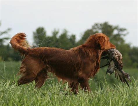 copper golden retriever puppies choctaw s yukon copper golden retriever hearth kennels